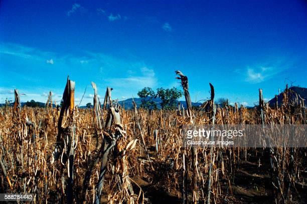 corn field - dead rotten fotografías e imágenes de stock