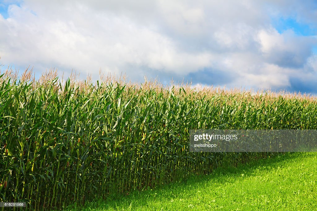 Corn field : Stock Photo