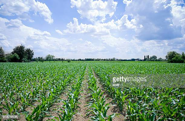 corn field - plantation stock pictures, royalty-free photos & images