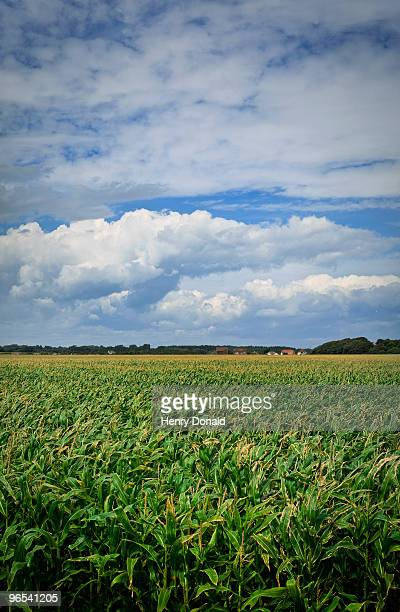 corn field - keyhaven stock photos and pictures