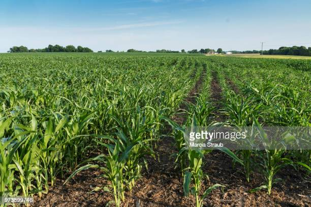 corn field - corn stock pictures, royalty-free photos & images