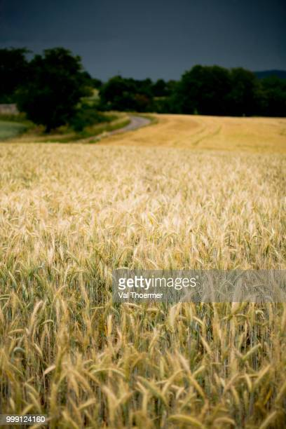 Corn field, rural landscape near Coburg, Bavaria, Germany