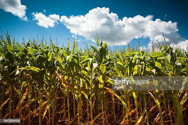 corn field under the summer sun - indian corn stock photos and pictures