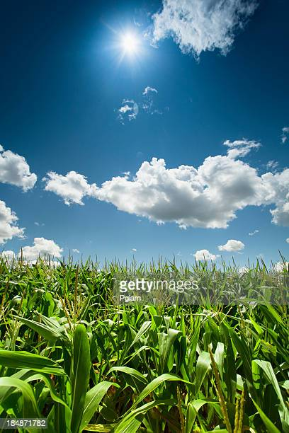 Mais-Feld unter der Sommersonne