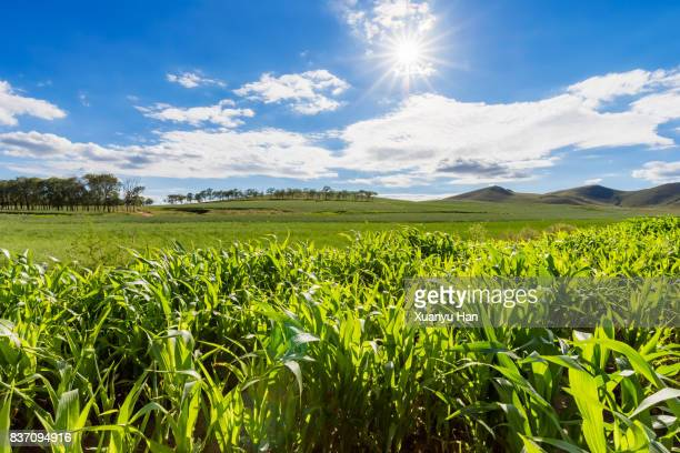 corn field under the summer sun - hebei province stock pictures, royalty-free photos & images