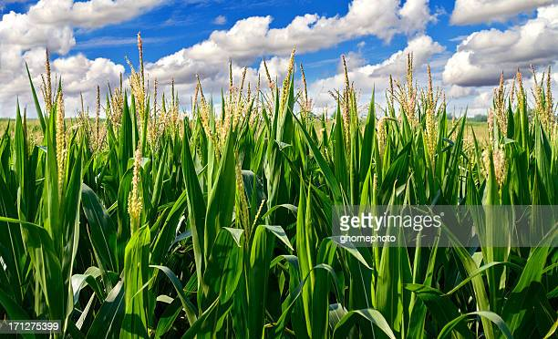 corn field with clouds - tassel stock pictures, royalty-free photos & images