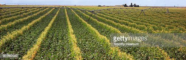 corn field with irrigation mechanism - timothy hearsum stock pictures, royalty-free photos & images