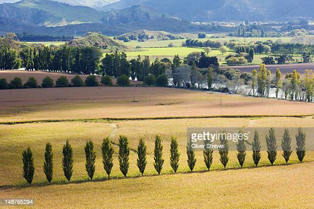 corn fields. - gisborne stock photos and pictures