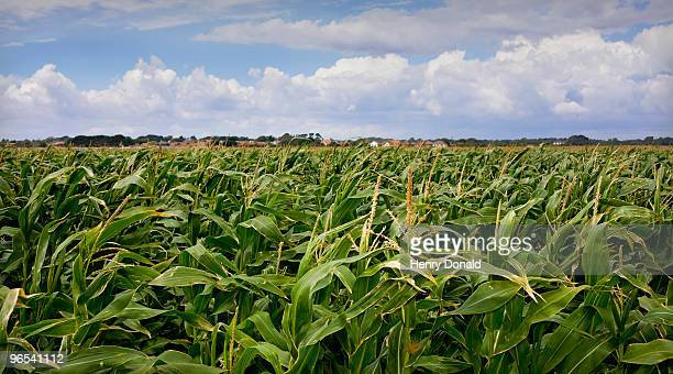 corn fields - keyhaven stock photos and pictures