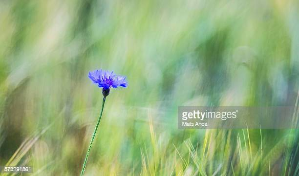 Corn flower in heavy bokeh