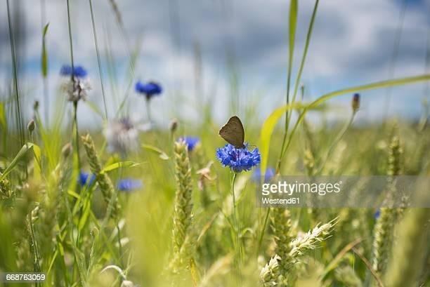 corn flower in wheat field - insekt stock-fotos und bilder