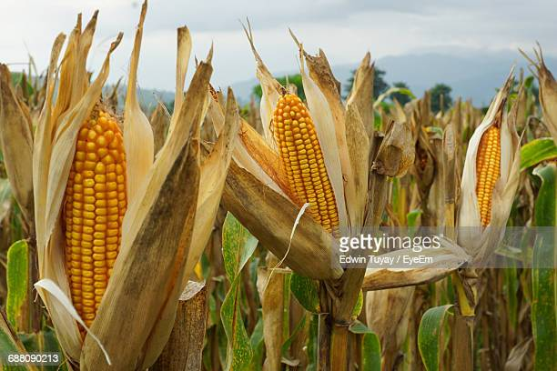 corn growing on farm against sky - corn stock pictures, royalty-free photos & images