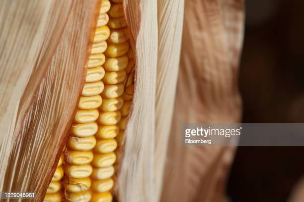 Corn grows at a farm near Carman Manitoba Canada on Saturday Oct 10 2020 Costs of staples slumped at the start of the global outbreak reaching a...
