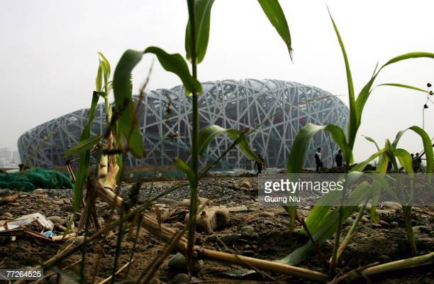 Corn grows at the construction site of the Beijing National Stadium, dubbed the 'Bird's Nest' on October 11, 2007 in Beijing, China. The main...