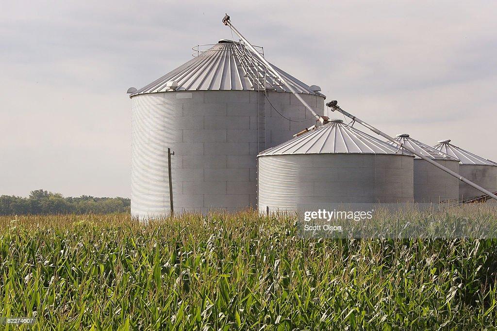 Corn Grows In A Field August 12 2008 Near Roscoe Illinois Despite Farmers