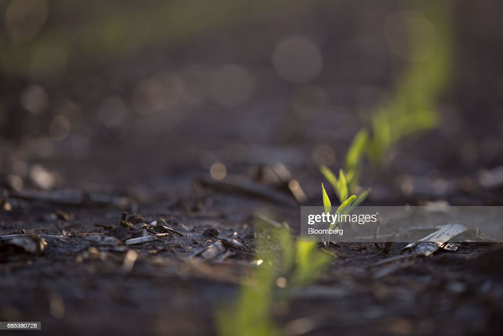 Corn grows in a field in Malden, Illinois, U.S., on Tuesday, May 16, 2017. Rain in the Midwest and Great Plains will slow corn, soybean and wheat planting progress as well as curb seed germination and early growth, according to a senior meteorologist at the MDA Weather Services. Photographer: Daniel Acker/Bloomberg via Getty Images