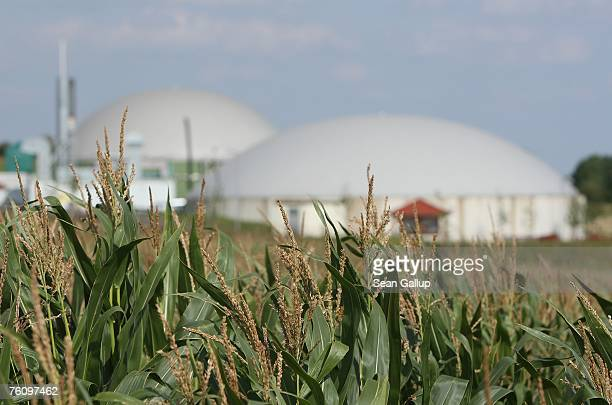 Corn grows next to a local bioenergy plant August 14 2007 at the village of Juehnde Germany Juehnde is the first village in Germany to become energy...