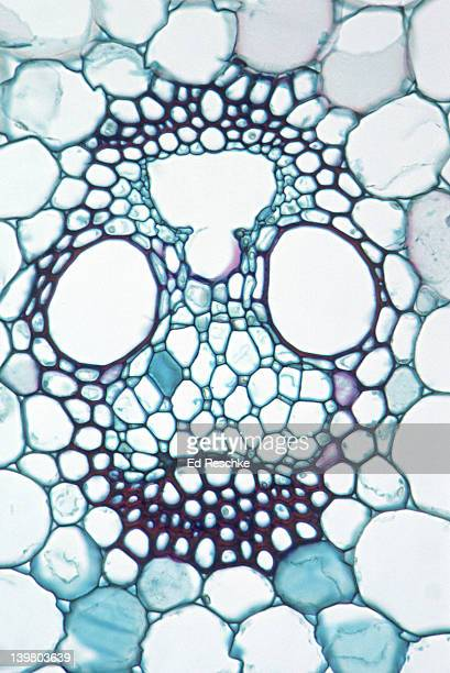 STEM CROSS SECTION. Corn (Zea), Herbaceous Monocot, 100X.  Shows a single vascular bundle with: xylem, phloem, companion cells, sieve tubes, and sclerenchyma.