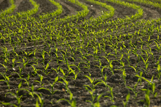 IL: Grains Fall With Rains Set to Aid Seared U.S. Crops
