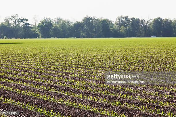 Corn in approximately 5 leaf stage growing on conventionally tilled soil which has been bedded to provided for effective furrow irrigation