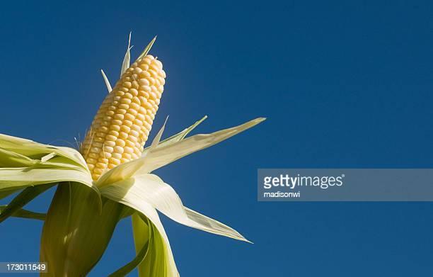 corn in the sky - corn on the cob bildbanksfoton och bilder