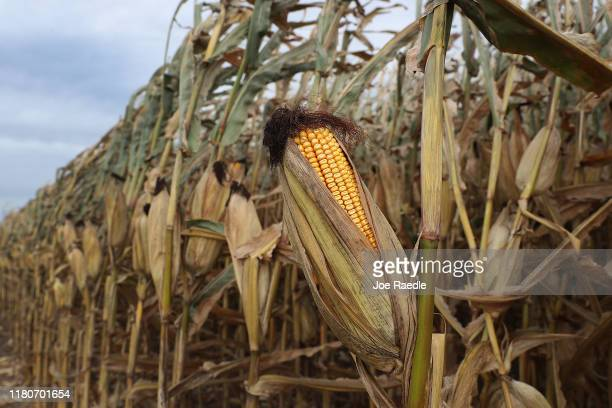 Corn is seen on the stalk as workers harvest it from a field at the Hansen Family Farms on October 12 2019 in Baxter Iowa The 2020 Iowa Democratic...
