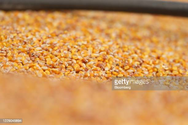 Corn kernels during a harvest at a farm near Carman Manitoba Canada on Saturday Oct 10 2020 Costs of staples slumped at the start of the global...