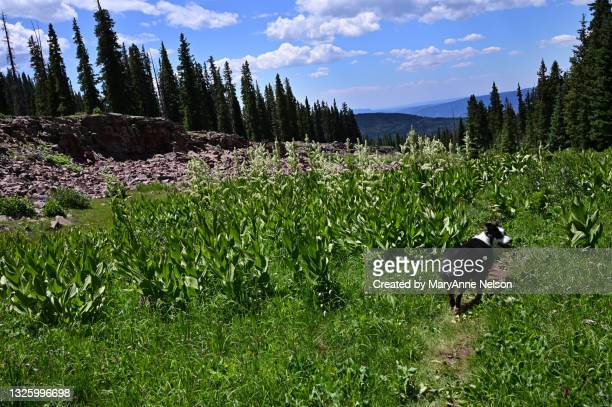 corn lilies and austrailan shepherd in mountains - カリフォルニアバイケイソウ ストックフォトと画像