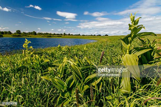 corn lilies (veratrum lobelianum) in arctic tundra at summer, nenets autonomous okrug of russia - カリフォルニアバイケイソウ ストックフォトと画像
