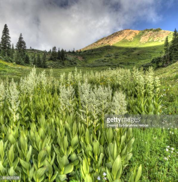 corn lilies wildflower and mountain panorama - カリフォルニアバイケイソウ ストックフォトと画像