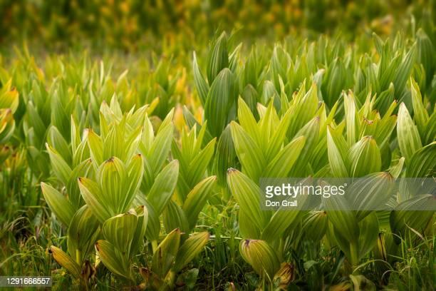 20070916 corn lily - バイケイソウ ストックフォトと画像