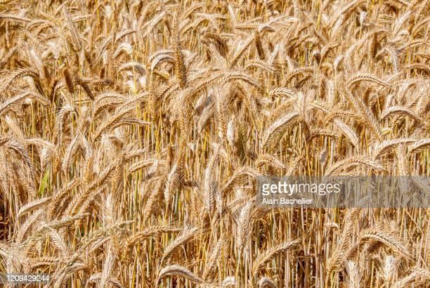 corn - alain bachellier photos et images de collection
