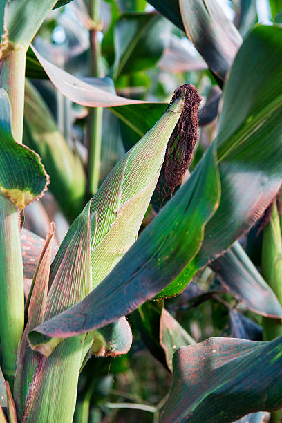 corn plant with spike