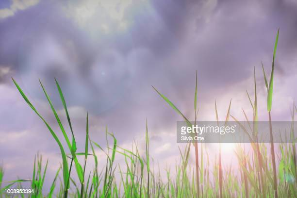 Corn Plant with thunderstorm clouds