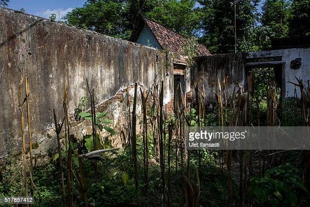 Corn plants are dried after harvesting at a broken house in Jambon subdistrict on March 26 2016 in Ponorogo district Indonesia More than 400 people...