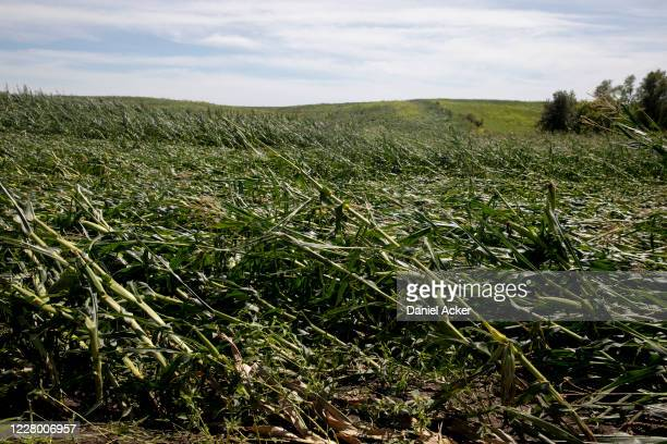 Corn plants are shown pushed over in a storm-damaged field on August 11, 2020 in Tama, Iowa. Iowa Gov. Kim Reynolds said early estimates indicate 10...