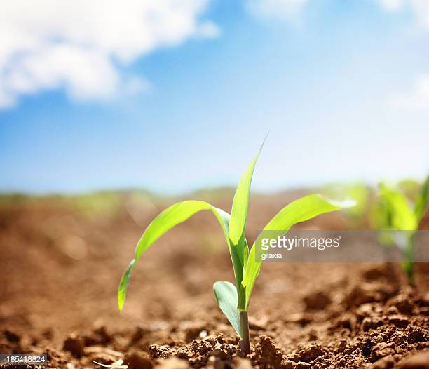 Corn plants.