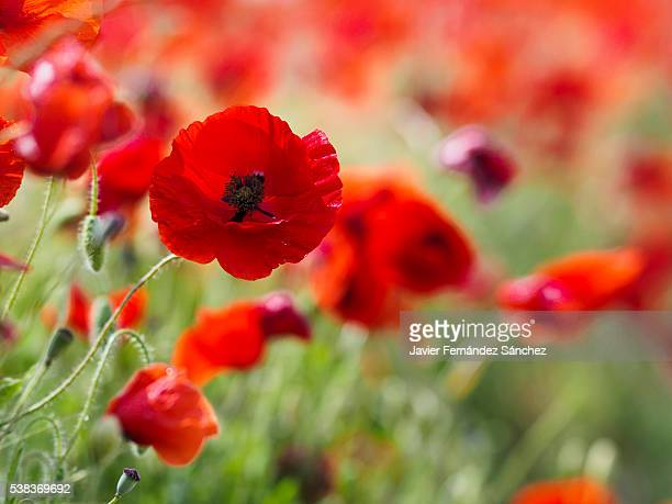 corn poppies on the edge of a wheat field. - oriental poppy stock pictures, royalty-free photos & images