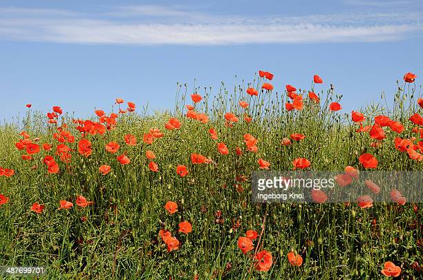 corn poppies -papaver rhoeas-, schleswig-holstein, germany - schleswig holstein stock pictures, royalty-free photos & images