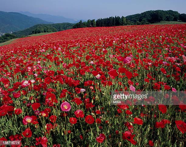 corn poppy at chichibu highland farm, minano, saitama, japan - 埼玉県 ストックフォトと画像