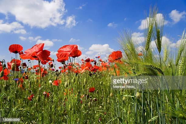 Corn Poppy, Field Poppy, Flanders Poppy or Red Poppy (Papaver rhoeas), Barley