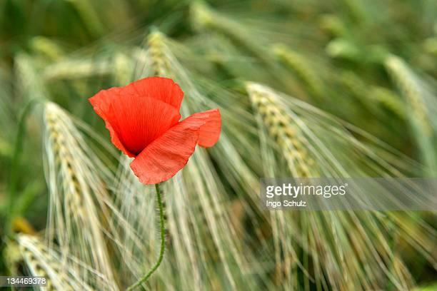 Corn poppy (Papaver rhoeas) in barley field (Hordeum vulgare)