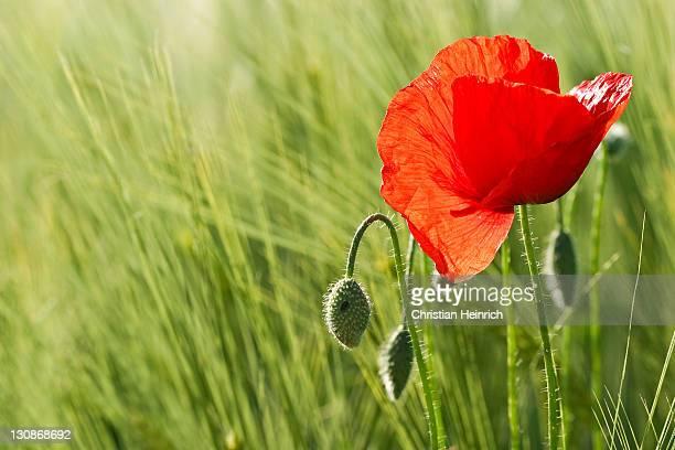 Corn Poppy, Red Poppy (Papaver rhoeas) in a barley field