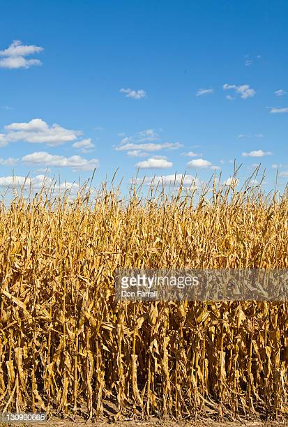 corn ready for harvest - lincoln nebraska stock pictures, royalty-free photos & images