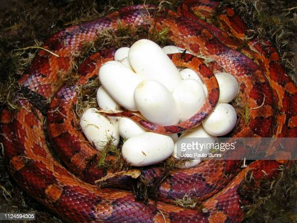corn snake after laying eggs - corn snake stock pictures, royalty-free photos & images