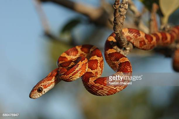 corn snake from the lower florida keys - corn snake stock pictures, royalty-free photos & images