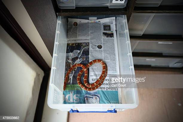 Corn Snake is pictured in its tank at the Royal Society for the Prevention of Cruelty to Animals reptile rescue centre on May 29 2015 in Brighton...