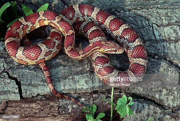 corn snake lying on bark - corn snake stock pictures, royalty-free photos & images