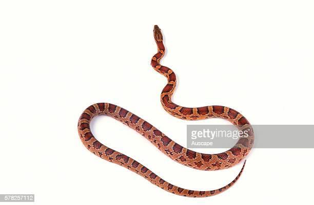 Corn snake Pantherophis guttatus a species kept as pet origin USA