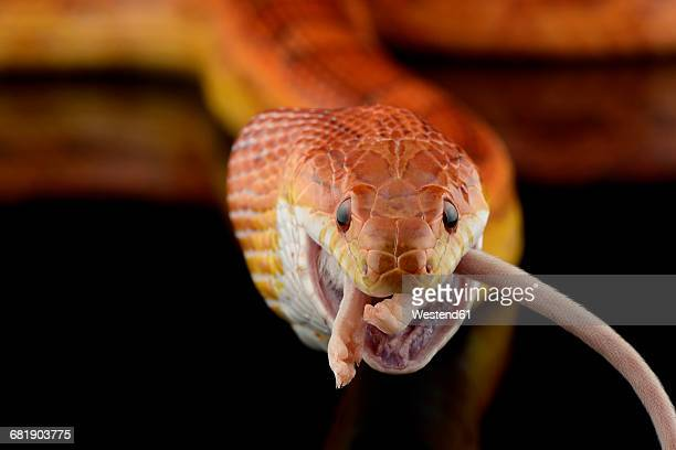 corn snake, pantherophis guttatus, eating mouse - corn snake stock pictures, royalty-free photos & images